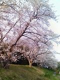 佐那具堤防の桜
