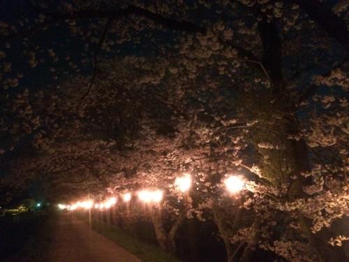 佐那具堤防の夜桜